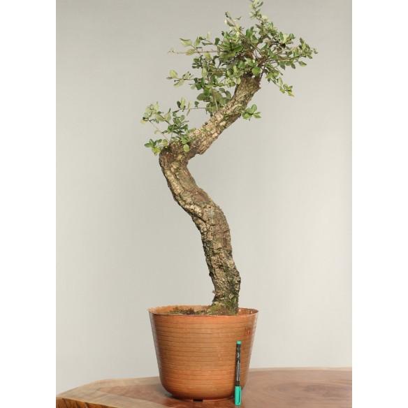 Quercus suber - B0243