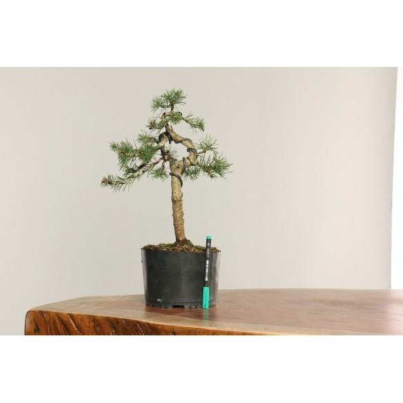 Pinus sylvestris - B0244