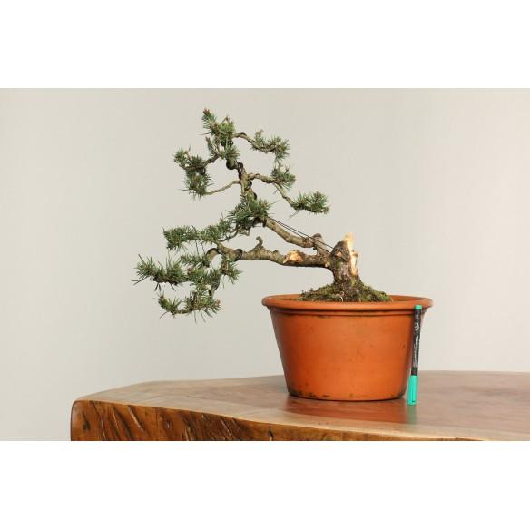 Pinus sylvestris - B0246