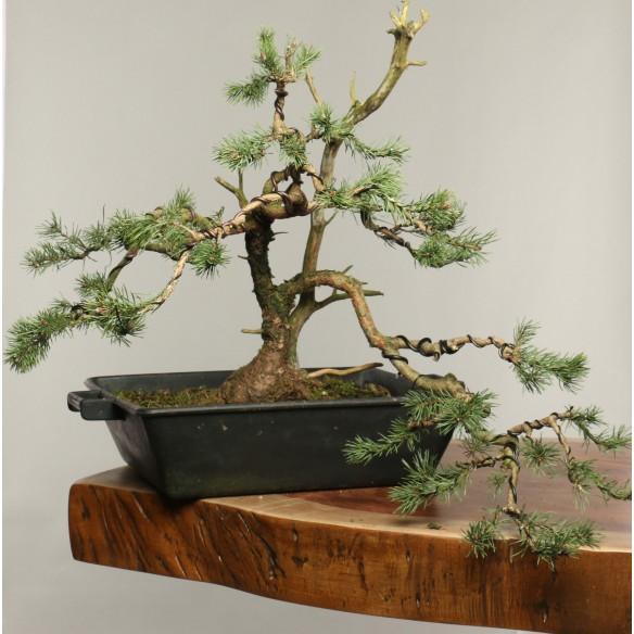 Pinus sylvestris - B0253