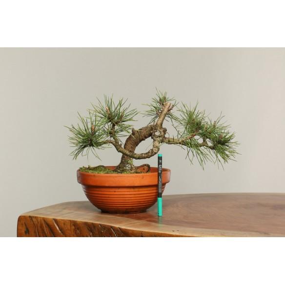 Pinus nigra - B0255