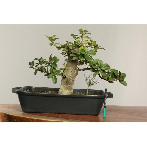 Ilex aquifolium - B0265