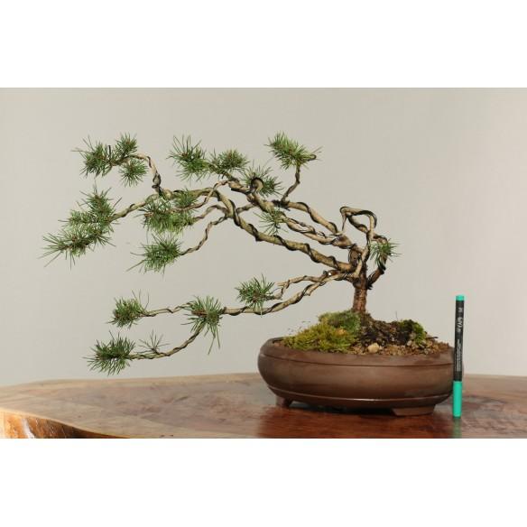 Pinus sylvestris - B0268