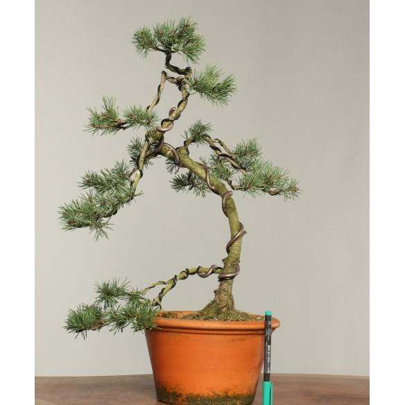 Pinus sylvestris - B0270