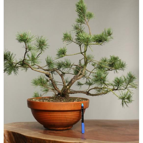 Pinus sylvestris - B0273