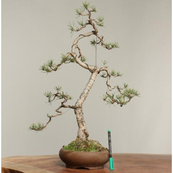 Pinus sylvestris - B0274