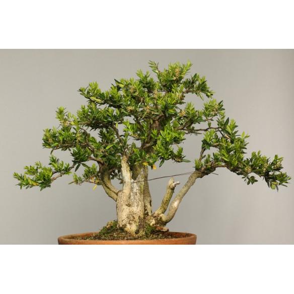 Buxus sempervirens - B0275