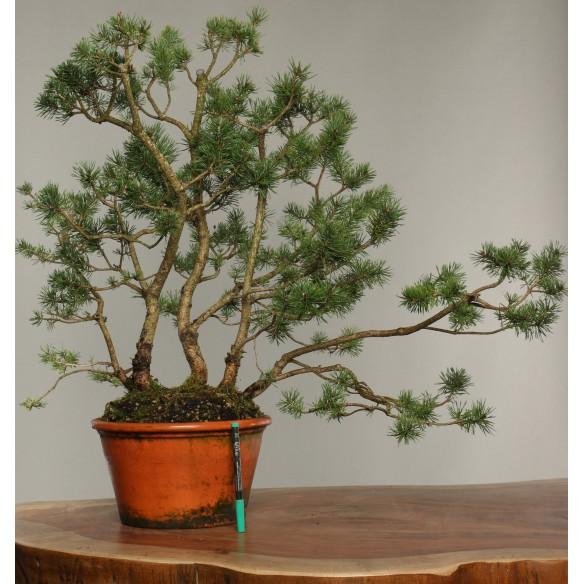 Pinus sylvestris - B0276