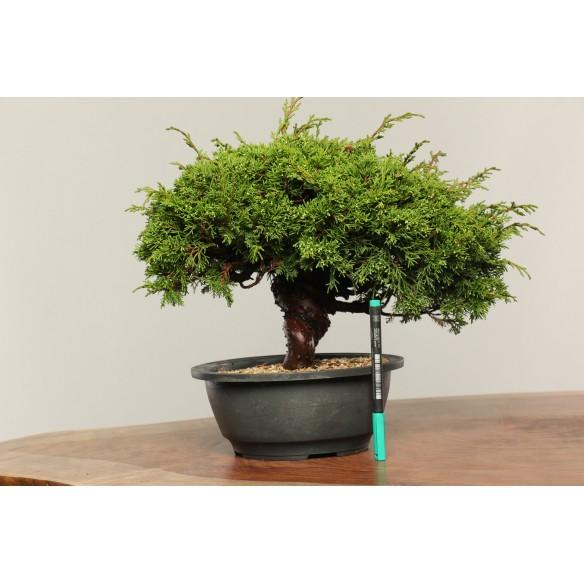 Juniperus chinensis...
