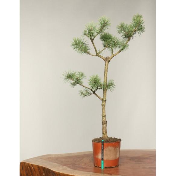 Pinus sylvestris - B0297