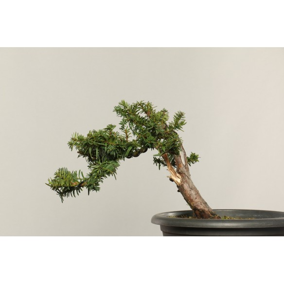 Taxus baccata - B0298