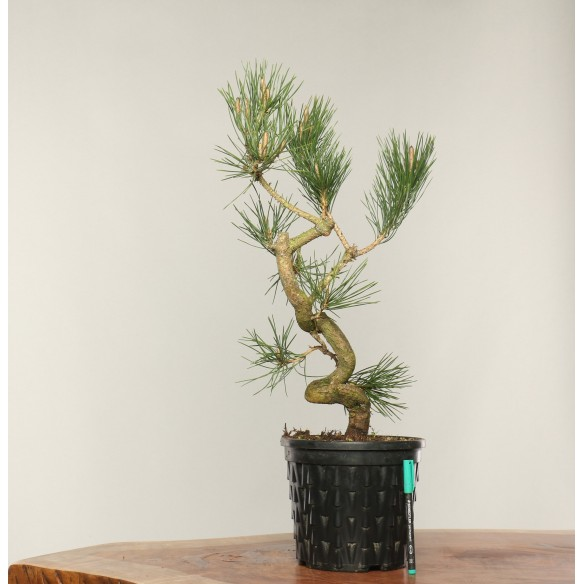 Pinus thunbergii - B0301