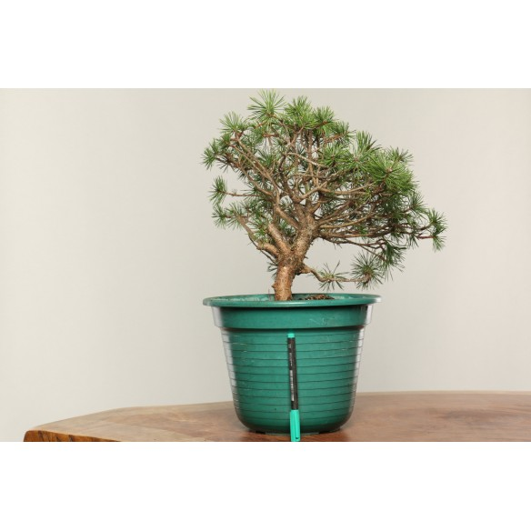 Pinus sylvestris - B0304