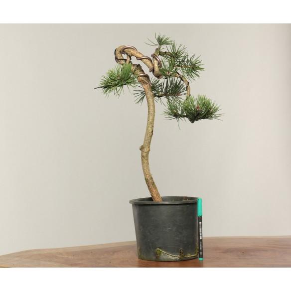 Pinus sylvestris - B305