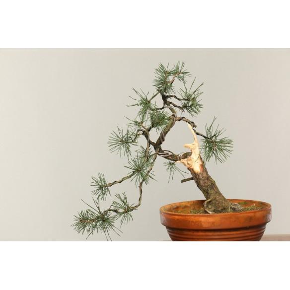 Pinus sylvestris - B0306