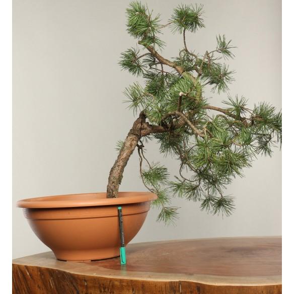 Pinus sylvestris - B0307