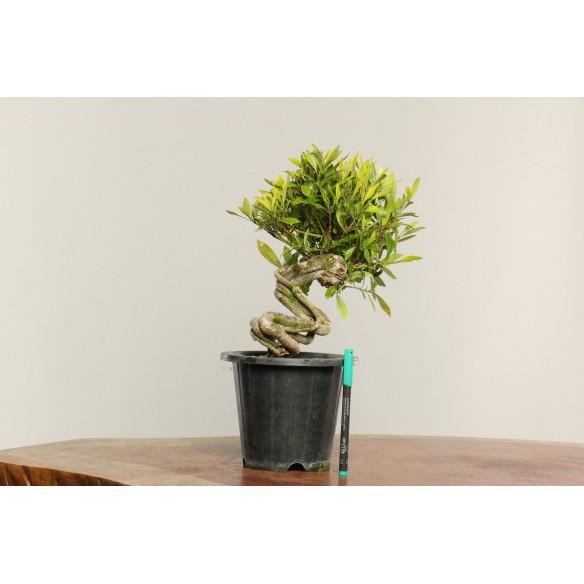 Gardenia jasminoides - B0324