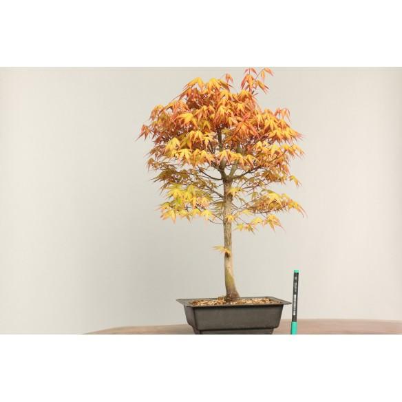 Acer palmatum 'katsura' -...