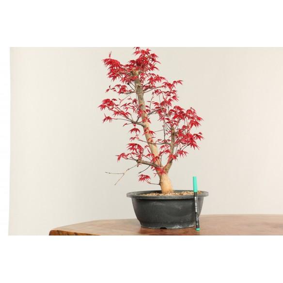 Acer palmatum 'deshojo' -...