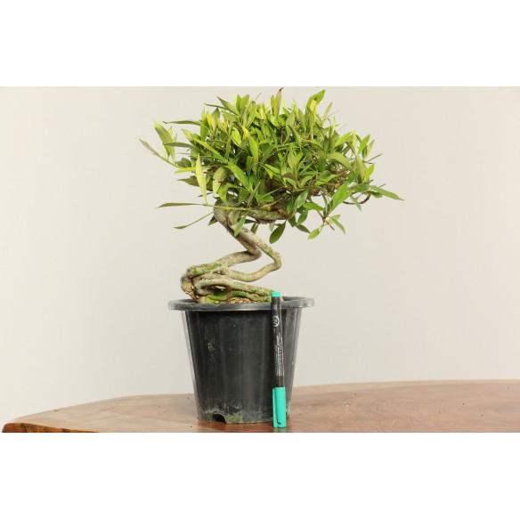 Gardenia jasminoides - B0345