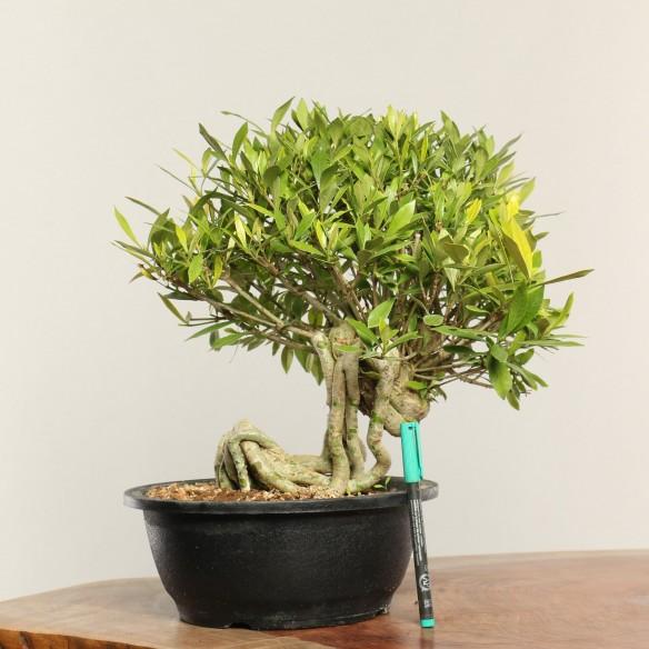 Gardenia jasminoides - B0354