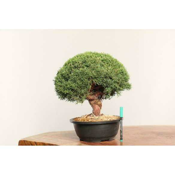 Juniperus chinensis 'kishu'...