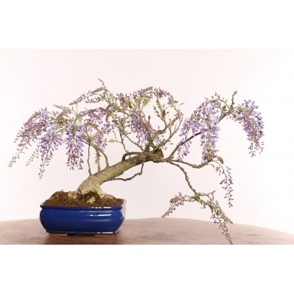 Wisteria floribunda - B0379