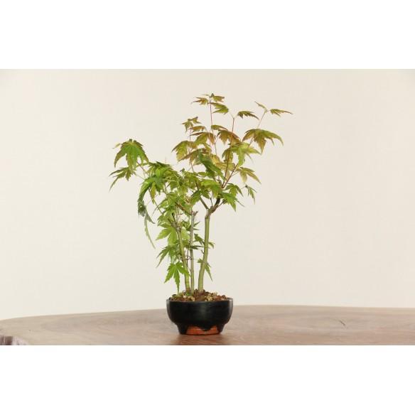 Acer palmatum 'yamamomiji'...