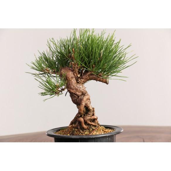 Pinus thunbergii - B0441