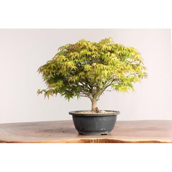 Acer palmatum 'kyiohime' -...