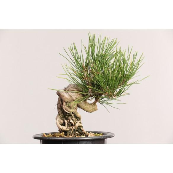 Pinus thunbergii - B0456