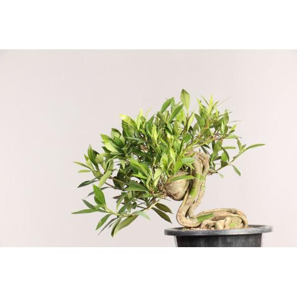 Gardenia jasminoides - B0461