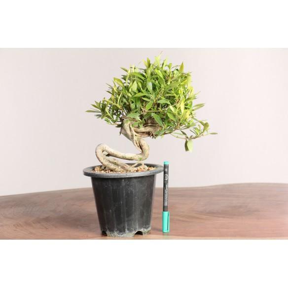 Gardenia jasminoides - B0463