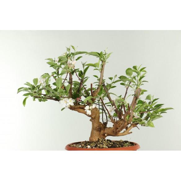 Macieira - Malus sylvestris...