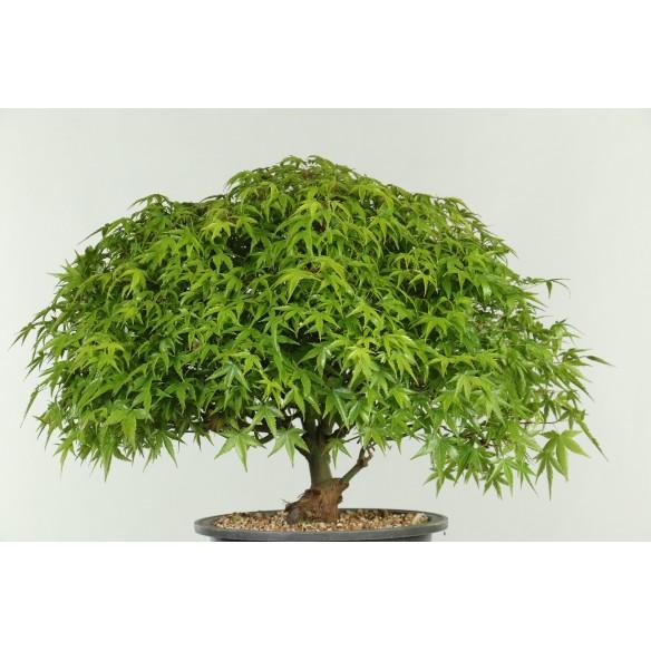 Acer palmatum 'kiyohime' -...