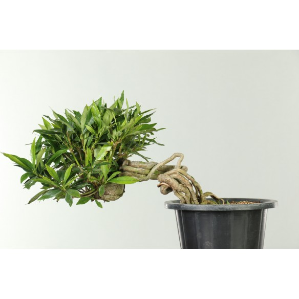 Gardenia jasminoides - B0512
