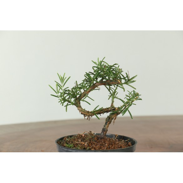 Rosemary - B0523