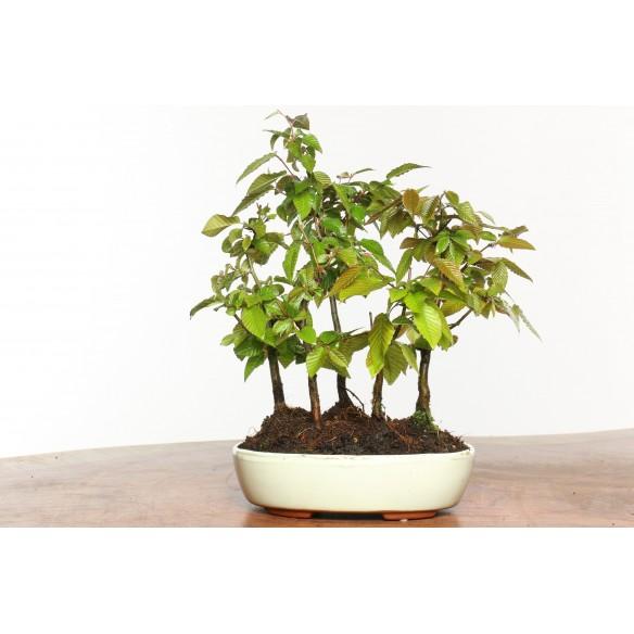 Carpinus turczaninovii - B0530