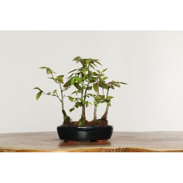 Carpinus turczaninovii - B0538