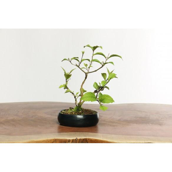 Callicarpa japonica - B0612