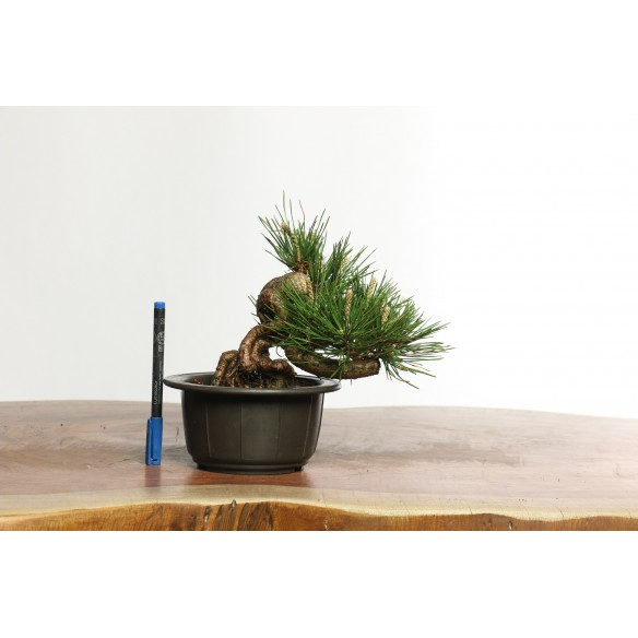 Pinus thunbergii - B0622