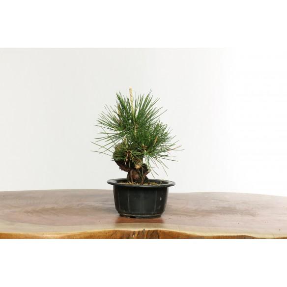 Pinus thunbergii - B0626