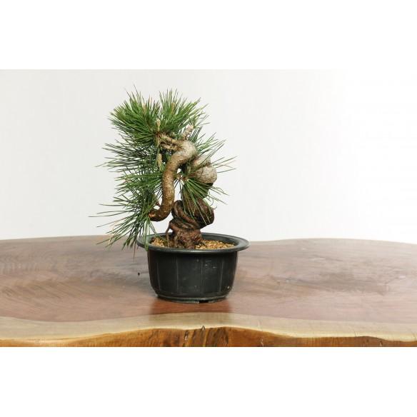 Pinus thunbergii - B0629
