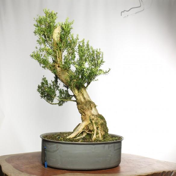 Buxus sempervirens - Y0037