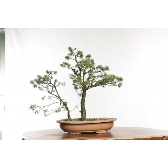 Pinus sylvestris - Y0016
