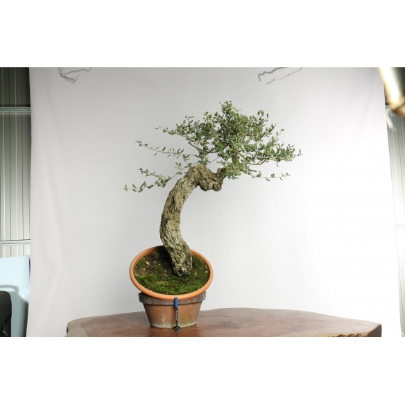 Quercus suber - Y0017