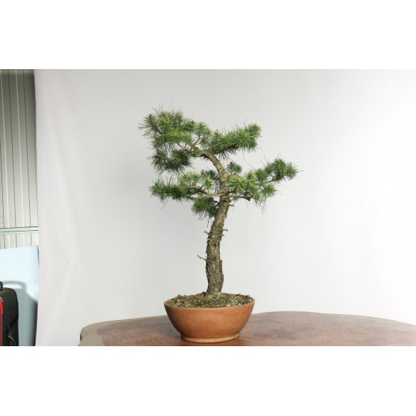 Pinus sylvestris - Y0018