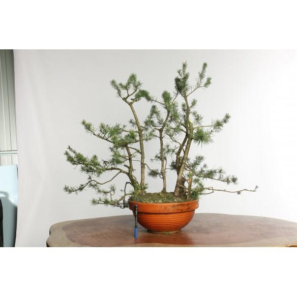 Pinus sylvestris - Y0019