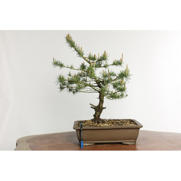 Pinus sylvestris - Y0020