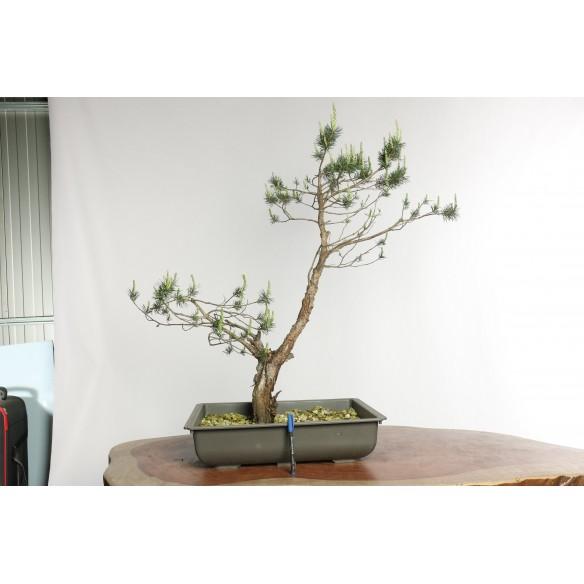 Pinus sylvestris - Y0021
